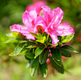 Flowers at the island of Sao Miguel Royalty Free Stock Photo