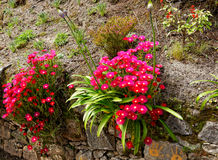 Flowers at the island of Sao Miguel. Azores typical flowers at the island of Sao Miguel Stock Image