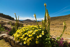 Flowers on the Island of the Sun, Titicaca Lake, Bolivia Stock Images
