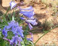 Flowers on Isle St Honorat