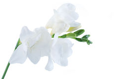 Flowers isolated Royalty Free Stock Photo