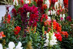 Flowers from Israel. Closeup of colorful flowers from Jerusalem in Israel royalty free stock photography