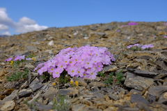 Flowers of Ivvavik National Park. A close up of colourful flowers on the tundra in Ivvavik National Park, northern Yukon, Canada Stock Photo
