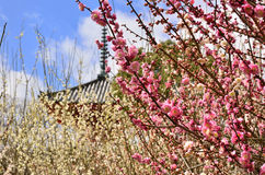 Flowers of Japanese apricot, Kyoto Japan Royalty Free Stock Photo