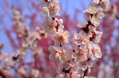 Flowers of Japanese apricot, Kyoto Japan Royalty Free Stock Photos