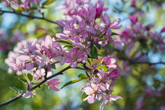 Flowers of Japanese cherries blossom in the spring. Royalty Free Stock Image
