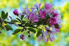 Flowers of Japanese cherries blossom in the spring. Stock Photo