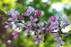 Flowers of Japanese cherries blossom in the spring. Royalty Free Stock Photography