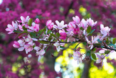 Flowers of Japanese cherries blossom in the spring. Stock Photography