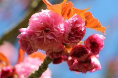 Flowers of japanese cherry tree Royalty Free Stock Photos