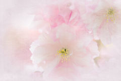 Flowers of a Japanese Cherry Stock Images