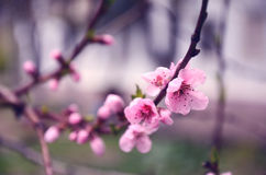 Flowers Japanese peach on a branch Royalty Free Stock Image
