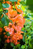 Flowers Of Japanese Quince On A Background Of Green Foliage. Royalty Free Stock Photography