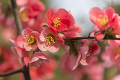 Flowers of japanese quince tree - symbol of spring, macro shot w Stock Photography