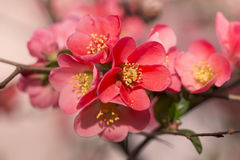 Flowers of japanese quince tree - symbol of spring, macro shot w. Ith blurry background royalty free stock photo