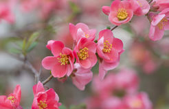 Flowers of japanese quince tree - symbol of spring, macro shot w. Ith blurry background stock photo