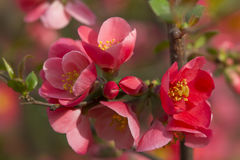 Flowers of japanese quince tree - symbol of spring, macro shot w. Ith blurry background Stock Photography