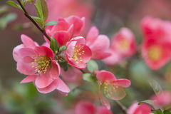 Flowers of japanese quince tree - symbol of spring, macro shot w. Ith blurry background royalty free stock photography
