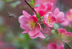 Flowers of japanese quince tree - symbol of spring, macro shot w. Ith blurry background and flying bee gathers pollen Royalty Free Stock Photo