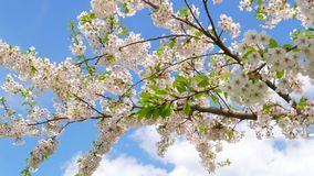 Flowers of Japanese sakura. Against the blue sky stock video