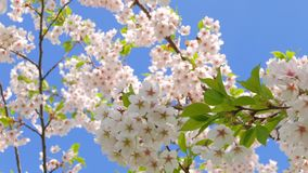 Flowers of Japanese sakura. Against the blue sky stock video footage