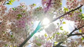Flowers of Japanese sakura. Against the blue sky stock footage
