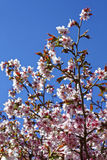 Flowers of Japanese Sakura. Cherry blossom of spring in the bota Stock Images