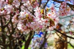 Flowers of Japanese Sakura. Cherry blossom of spring in the bota Royalty Free Stock Photography