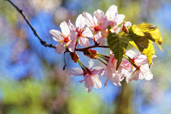Flowers of Japanese Sakura. Cherry blossom of spring in the botanical garden Royalty Free Stock Photo