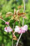 Flowers of Japanese Sakura. Cherry blossom of spring in the botanical garden Stock Images