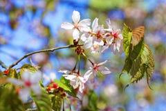 Flowers of Japanese Sakura. Cherry blossom of spring in the botanical garden Stock Image