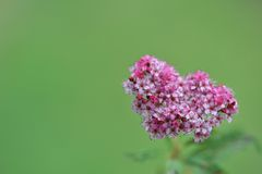 Flowers of Japanese spirea Royalty Free Stock Images