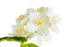Flowers of a jasmin Stock Image
