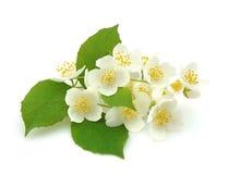Flowers of jasmine Stock Photo