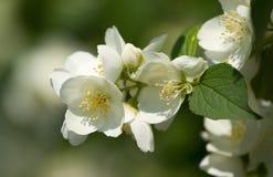 Flowers of  jasmine Royalty Free Stock Photo