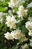 Flowers of jasmine in city garden Stock Photography