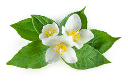 Flowers of jasmine with leaves on white Royalty Free Stock Image