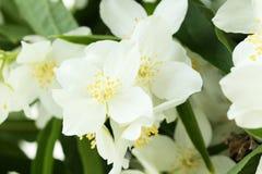 Flowers of jasmine Royalty Free Stock Photography
