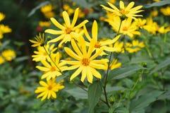 Flowers of Jerusalem artichoke closeup Royalty Free Stock Photo