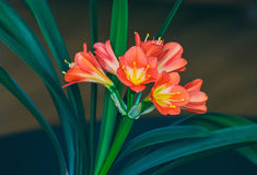 Flowers of the kaffir lilly plant. A flowering head of Clivia miniata also known as Natal lily, bush lily, Kaffir lily. Stock Image