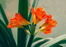 Flowers of the kaffir lilly plant. A flowering head of Clivia miniata also known as Natal lily, bush lily, Kaffir lily. Royalty Free Stock Photography