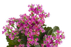 Flowers of kalanchoe Stock Images