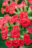 Flowers of kalanchoe blossfeldiana Royalty Free Stock Photos