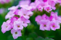 Flowers of kalanchoe blossfeldiana Stock Images