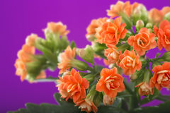 Flowers of Kalanchoe. on a purple background. Stock Photography