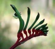 Flowers - Kangaroo Paw. Red and Green Australian Kangaroo Paw - Western Australia's floral emblem stock images