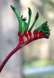 Flowers - Kangaroo Paw. Red and Green Australian Kangaroo Paw - Western Australia's floral emblem royalty free stock image