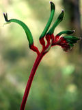 Flowers - Kangaroo Paw Royalty Free Stock Photos