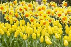 Flowers in Keukenhof, Netherlands Royalty Free Stock Images