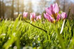 Flowers in Keukenhof park Royalty Free Stock Photo